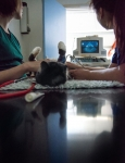 Veterinary & Agriculture Photography - Cat undergoing an ultrasound procedure